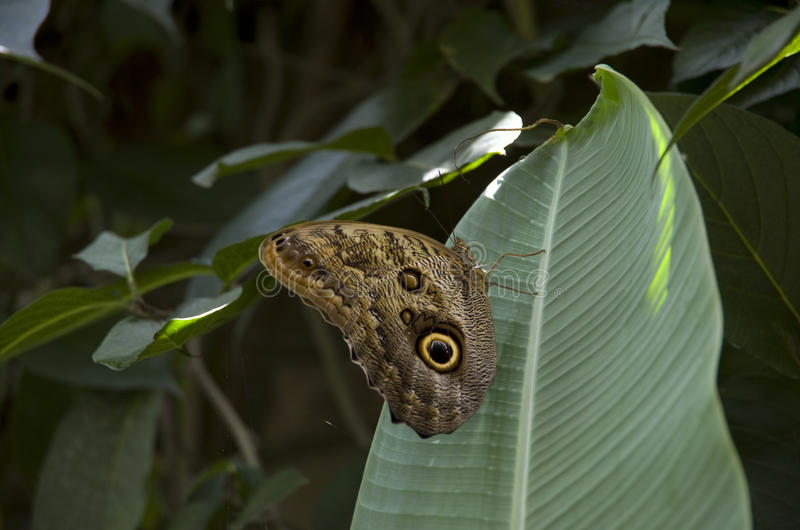 Butterfly on banana leave. A big butterfly landing on a banana leave. National museum, Coster Rica stock photography