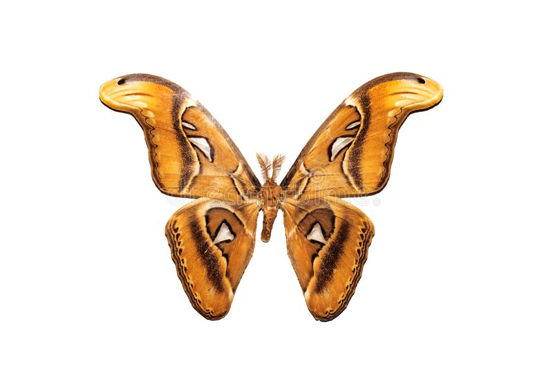 Big butterfly with yellow wings, isolate on white background, attacus atlas royalty free stock photography