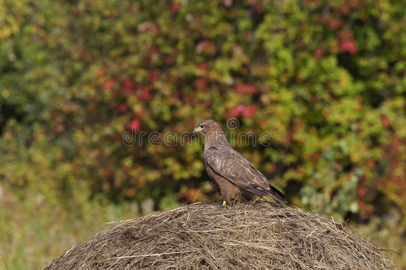 Big buzzard on the haystack. Krasnoyarsk region, Siberia. Buzzard on the haystack. Krasnoyarsk region, Siberia royalty free stock photography