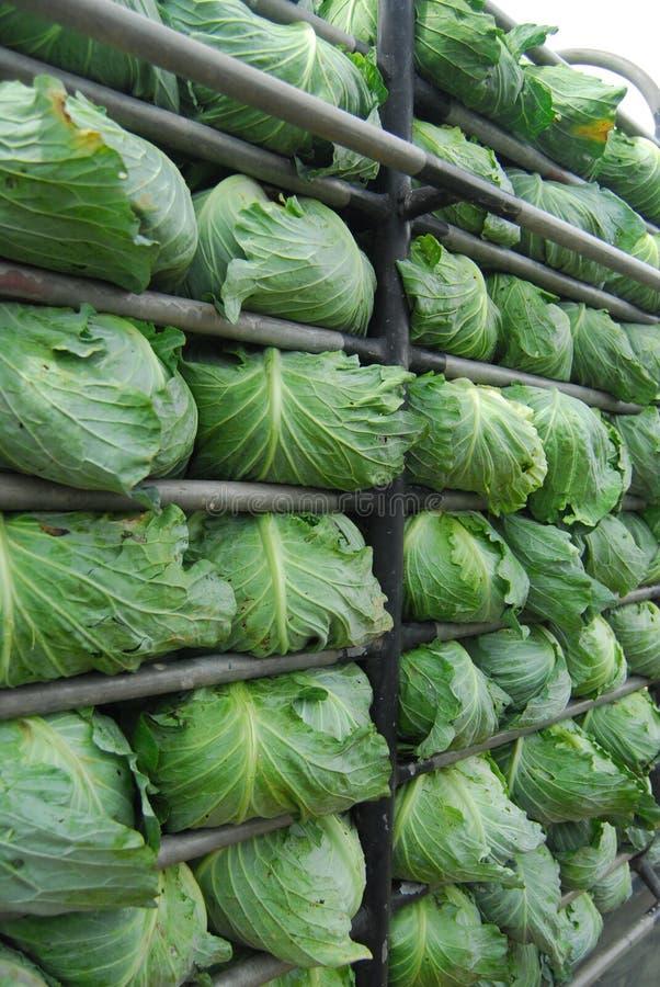 Big Cabbage farm on the mountain and sk. Y Phu Thap Boek (Phu Tub Berk), Phetchabun, thailand royalty free stock images