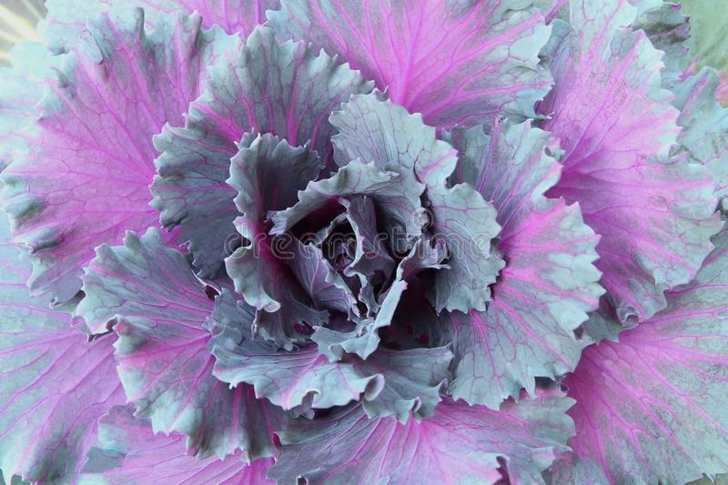 Big cabbage growing in the garden, fresh hydroponic vegetable royalty free stock image