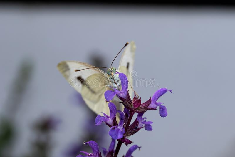 A big cabbage white in frontview sitting on a lilac sage. Photographed in extreme close up and extreme macro royalty free stock images