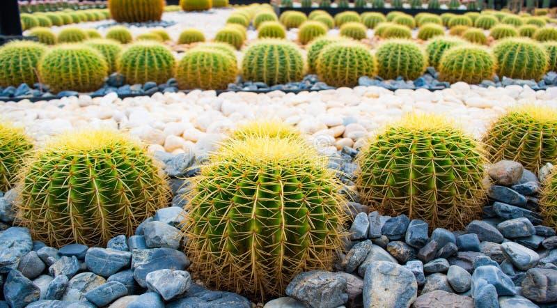 Big cactus in the garden at Nongnuch garden ,Suttahip , Chonburi province, landmark of Thailand. Big cactus in the garden at Nongnuch garden ,Suttahip stock photos