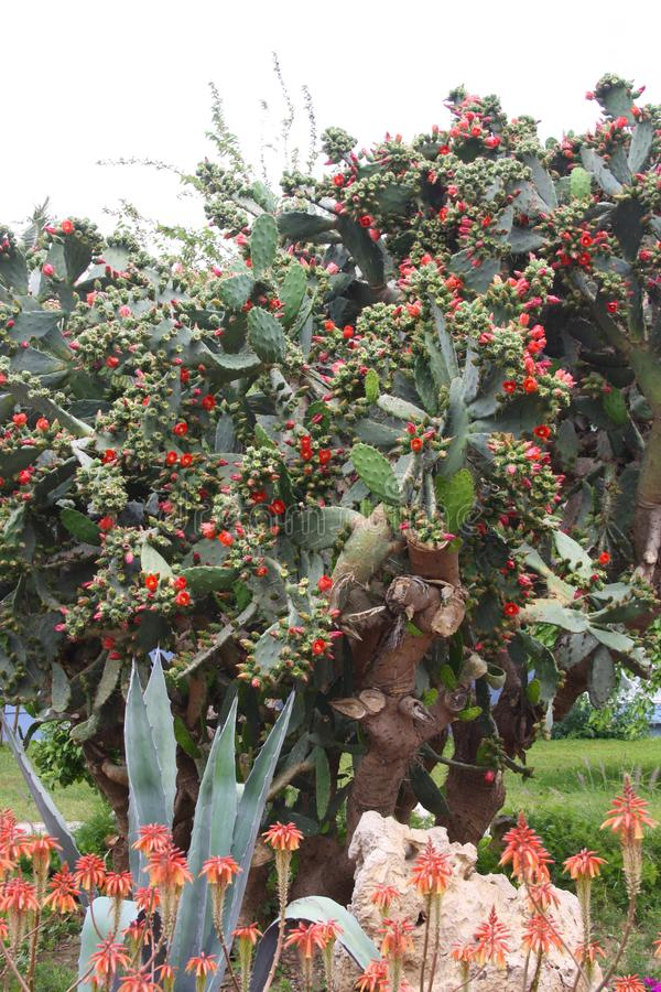 Big cactus with red flowers and big leaves royalty free stock photography