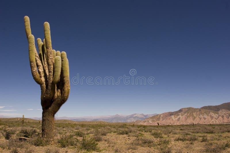 Big cardon in the desert royalty free stock photos