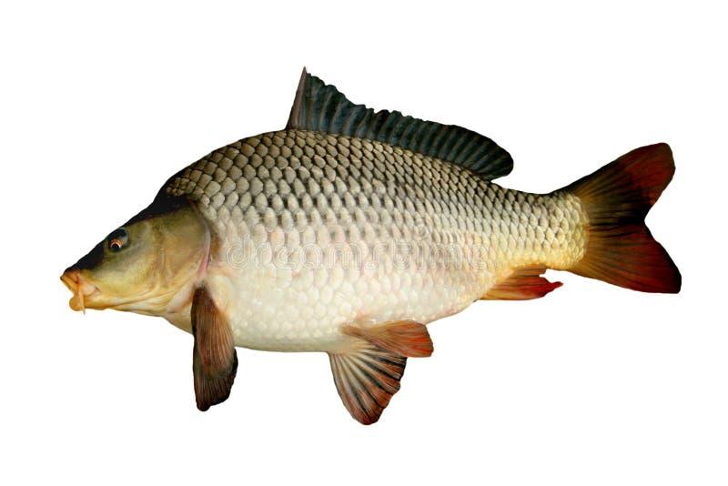 Big carp stock photo