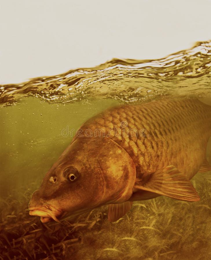 Big carp fish in seach of food. Big carps are favorite fish for many anglers. Boilies is best to use for large specimens stock image