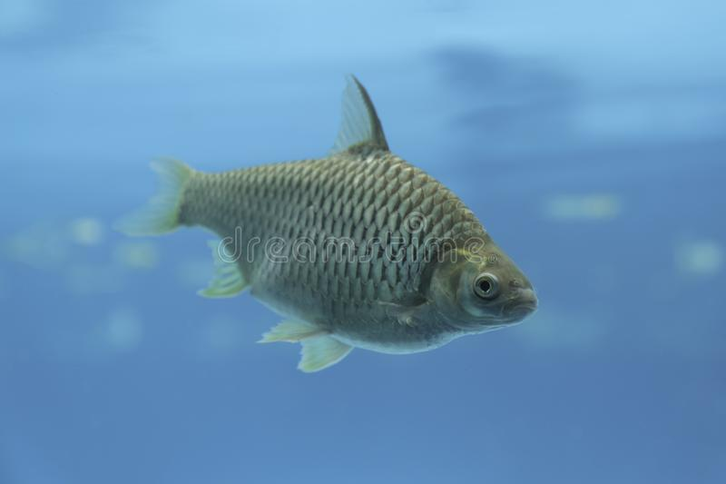 A big carp fish. In underwater blue water background royalty free stock images