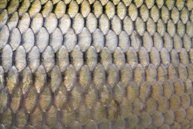 Big carp scales