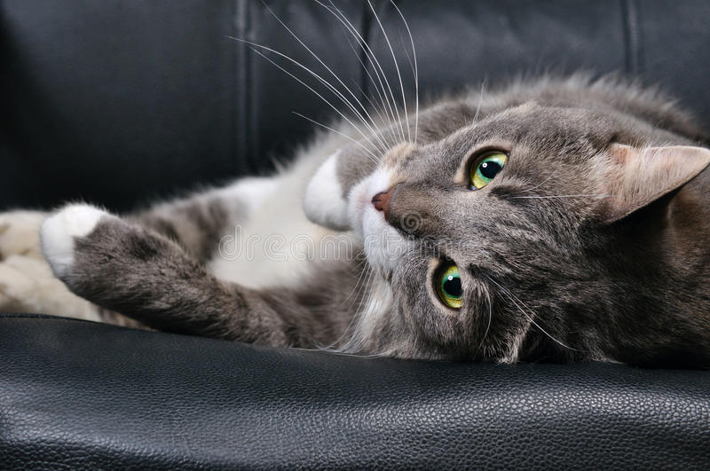 Big cat. Is lying on a chair royalty free stock image