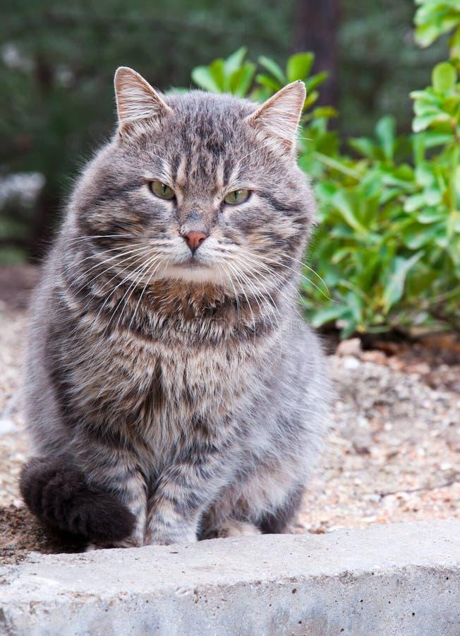Big Cat Royalty Free Stock Image