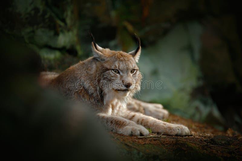 Big cat Eurasian Lynx sitting in rock. Germany, wildlife royalty free stock photo