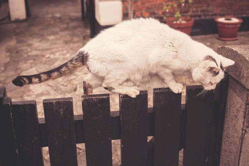 Big cat on fence. Big cat walking on a fence royalty free stock photography