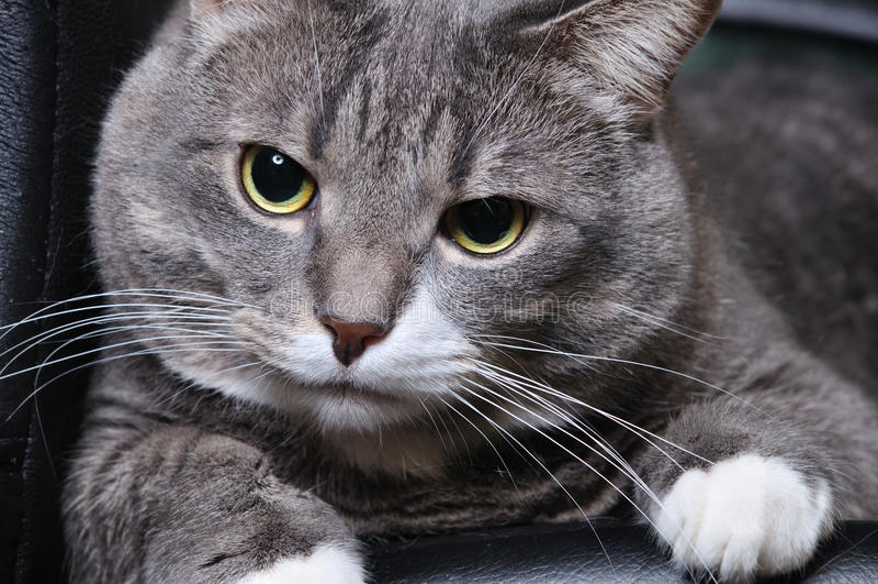 Download Big cat is lying stock photo. Image of head, beautiful - 17033684