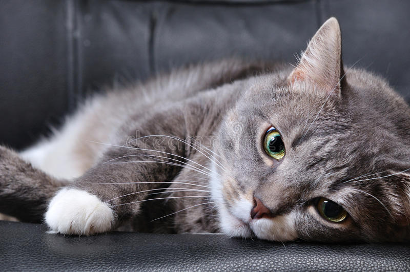 Big cat is lying on chair. A big cat is lying on chair royalty free stock image