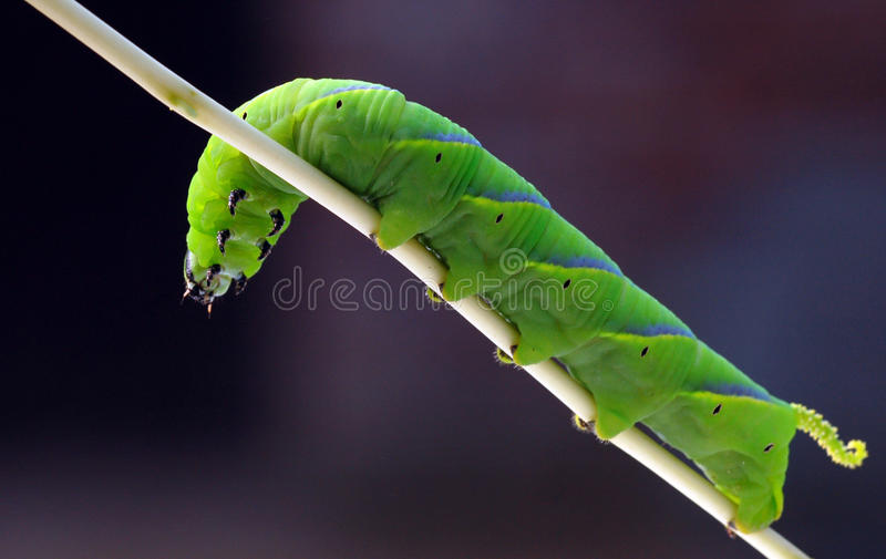 Big caterpillar. A big green caterpillar hanging on stem stock photos