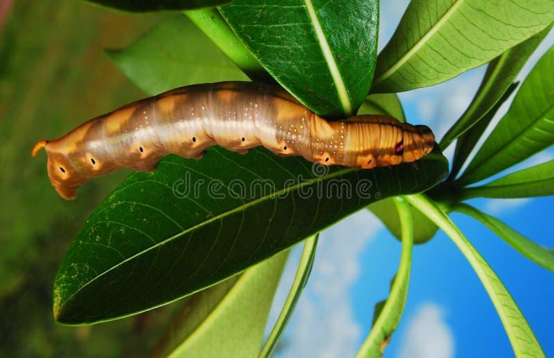 Download Big caterpillar stock image. Image of nature, summer - 24167827
