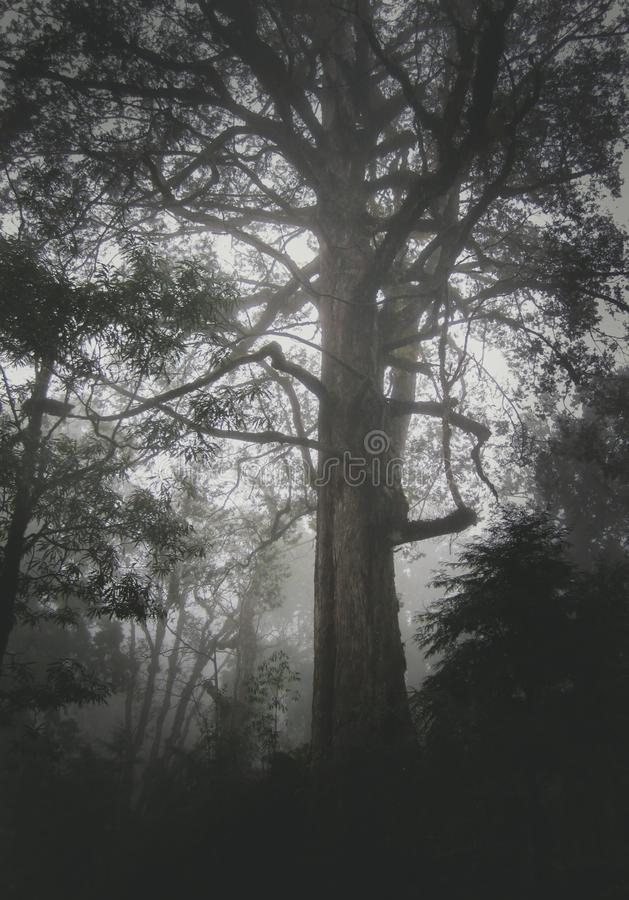 A big cedar tree in Ali mountain. Taiwan in a foggy background, moody royalty free stock photos