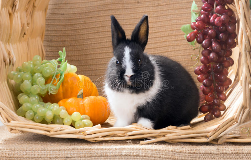With the big cheeks black and white baby dwarf dutch rabbit. One. Month stock photos