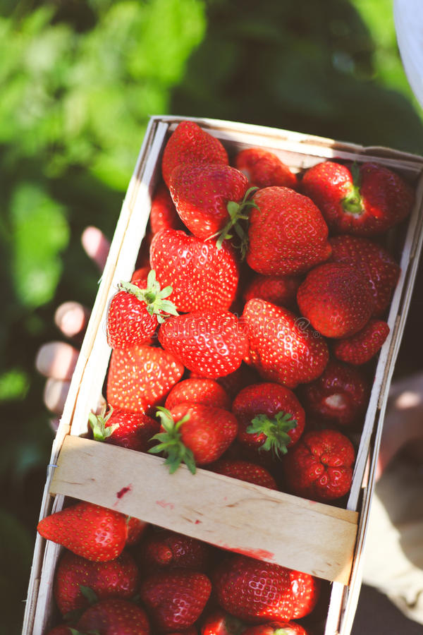 Big Chunky Hand-plucked Strawberries stock images