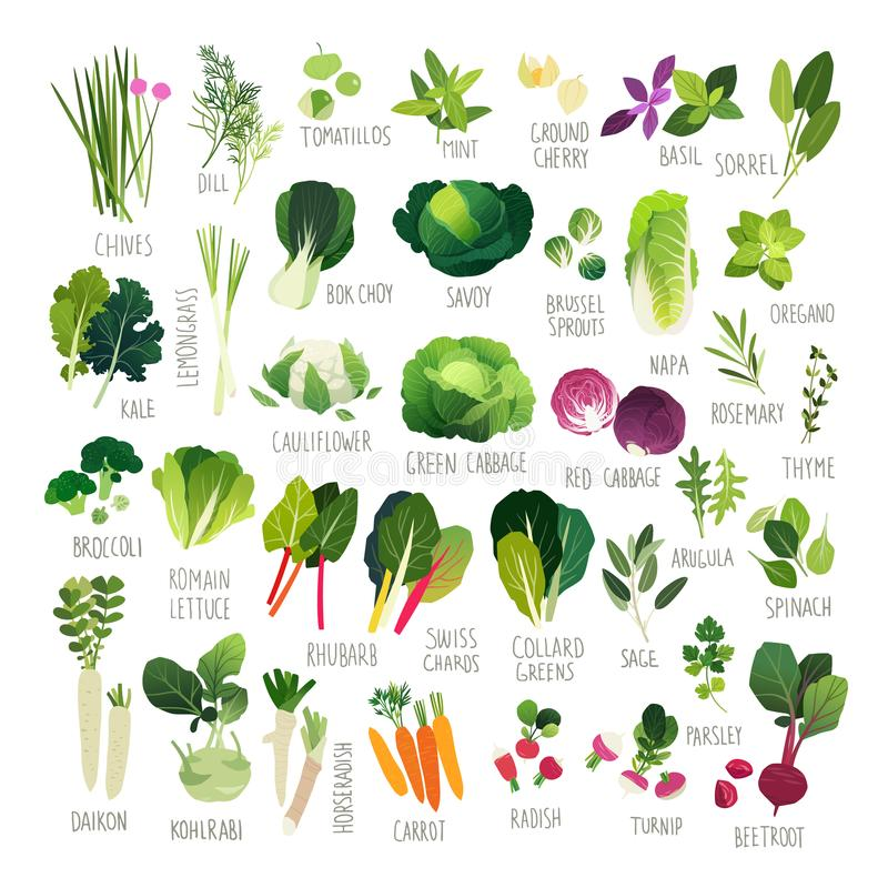 Clip art vegetable collection. Big clip art collection with various kind of vegetables and common culinary herbs vector illustration