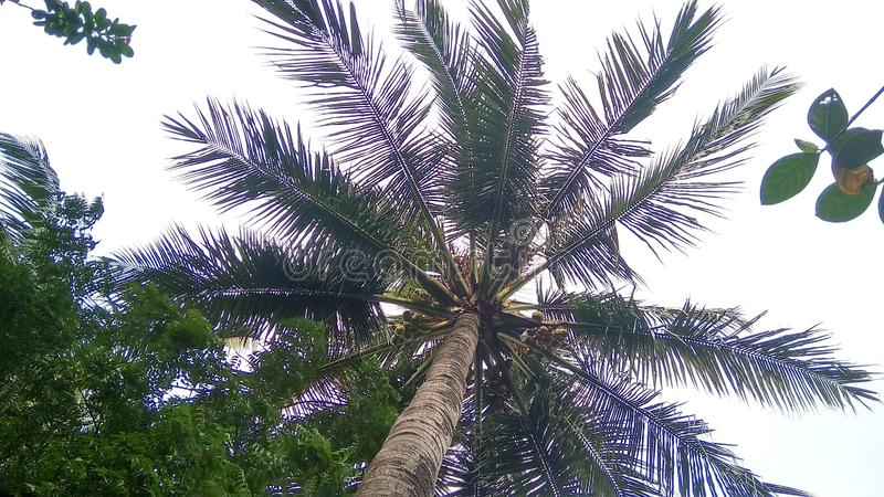 Big coconut leafs spread in the sky stock photography