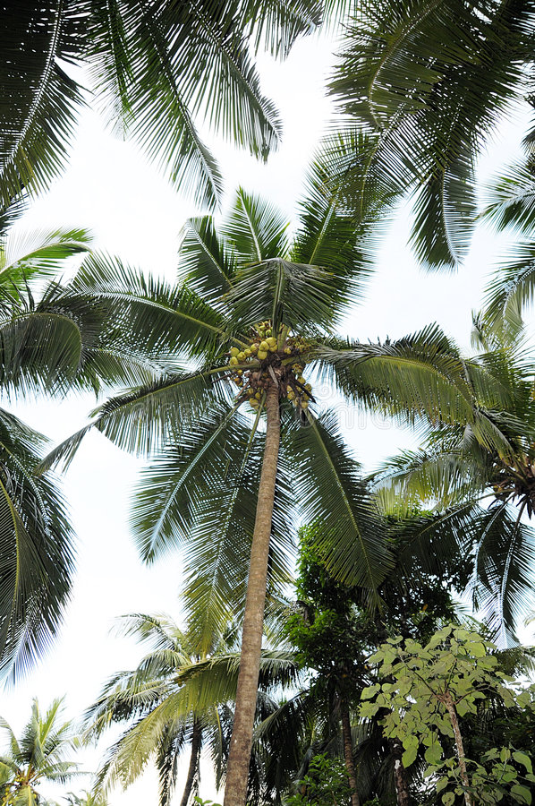 Big Coconut Tree. A big coconut tree with coconuts on its top in kerala, India royalty free stock photos