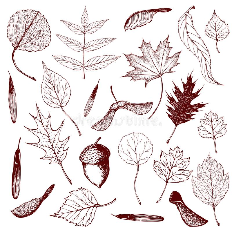 Big collection of engraved forest leaves and seeds. Hand drawn outline illustration of different types of leaves like birch, royalty free illustration