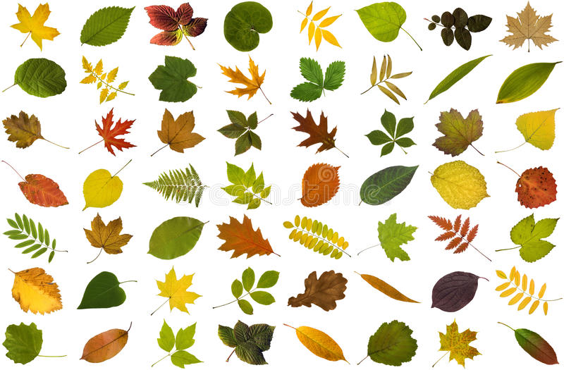 Big collection of leaves. Isolated on white background stock photography