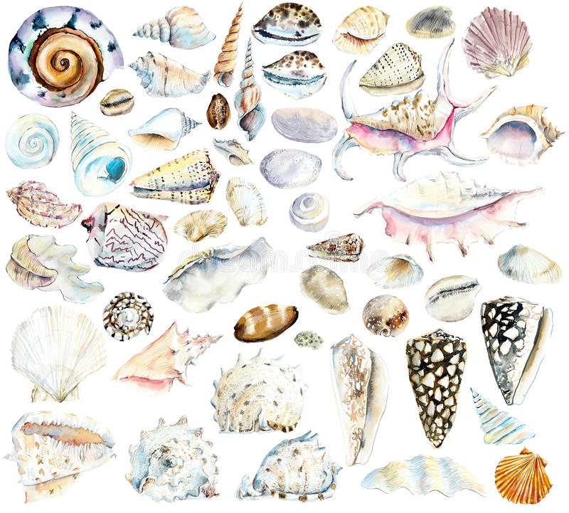 Shells. Watercolor hand drawn illustration royalty free illustration