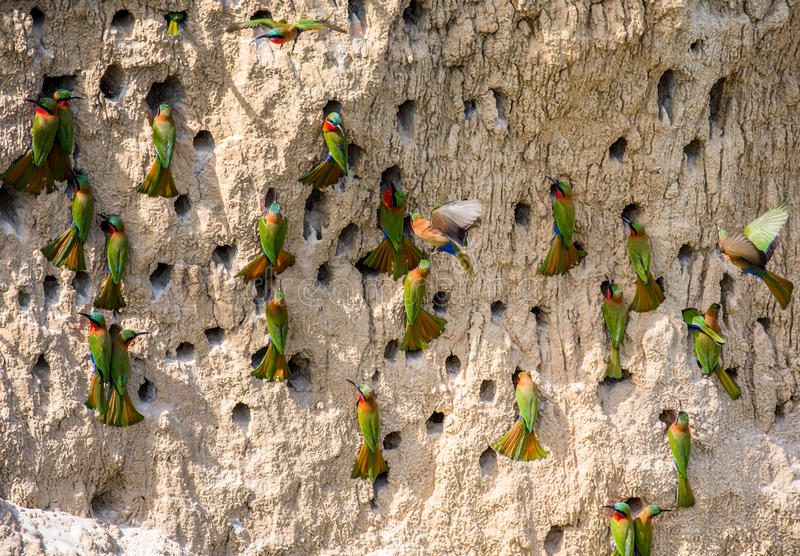 Big colony of the Bee-eaters in their burrows on a clay wall. Africa. Uganda. royalty free stock photography