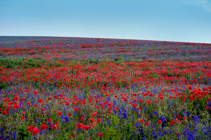 Big colorful field poppies and bells flowers royalty free stock image