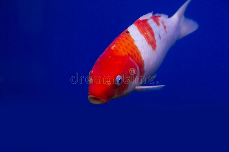 Big Colorful Koi Carp Royalty Free Stock Photo