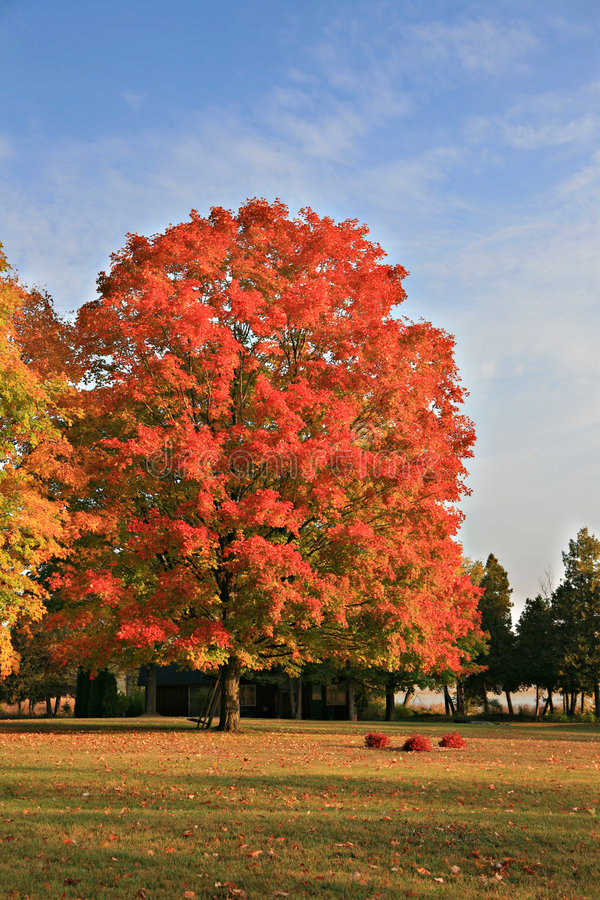Download Big Colorful Maple Tree Under Blue Sky Stock Photo - Image: 6715202