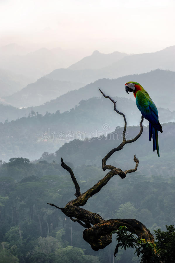 Big colourful parrot on a branch on hill background in Munnar. In western Ghats, Kerala, Idukki district, India stock photos