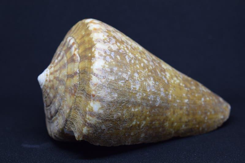Big conch of Strombus Bobonius whole on white background. Natural seashell of prehistoric site stock photo