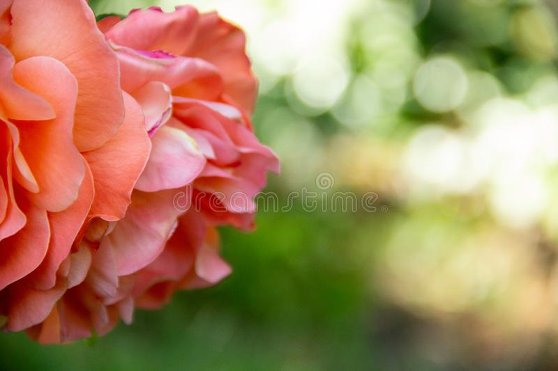 Coral rose in a summer garden stock photos