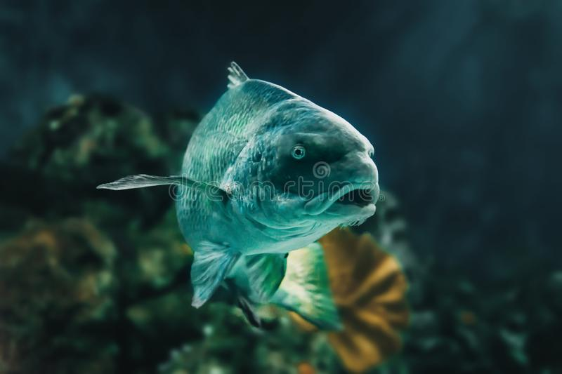 Portrait of a Corvina Fish. Big Corvina fish looking at the camera with an aquarium background. This is a huge Corvina and it is very bright stock photos