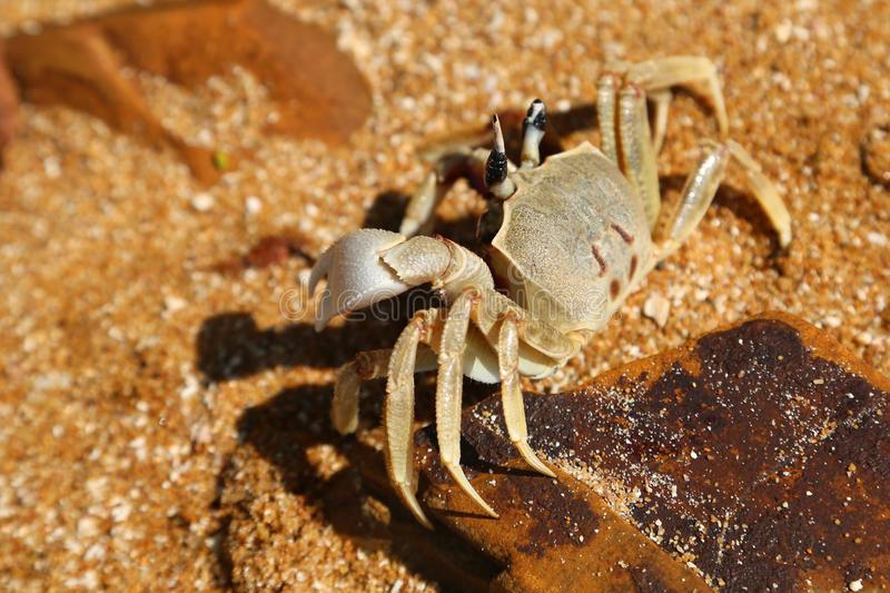 Big crab on the beach royalty free stock images