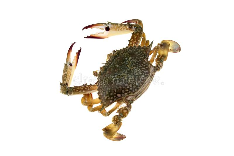 Big crab on white background royalty free stock images