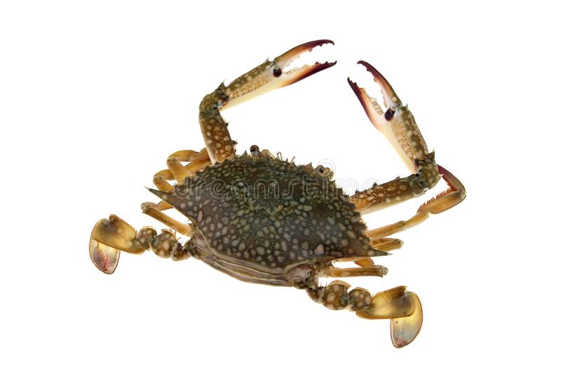 Big crab isolated royalty free stock photos