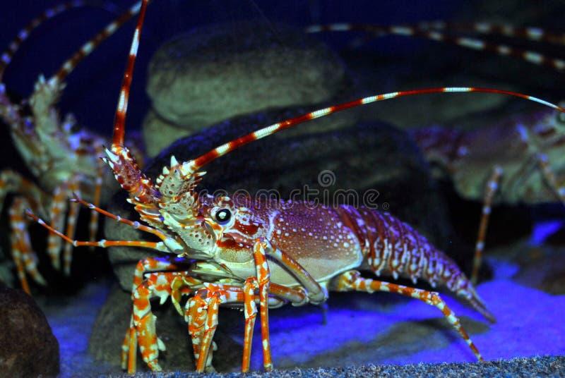 Big crayfish stock photos