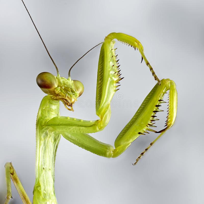 Big crimean mantis. Macro close up stacking image. Insect photo. Graphy royalty free stock photography