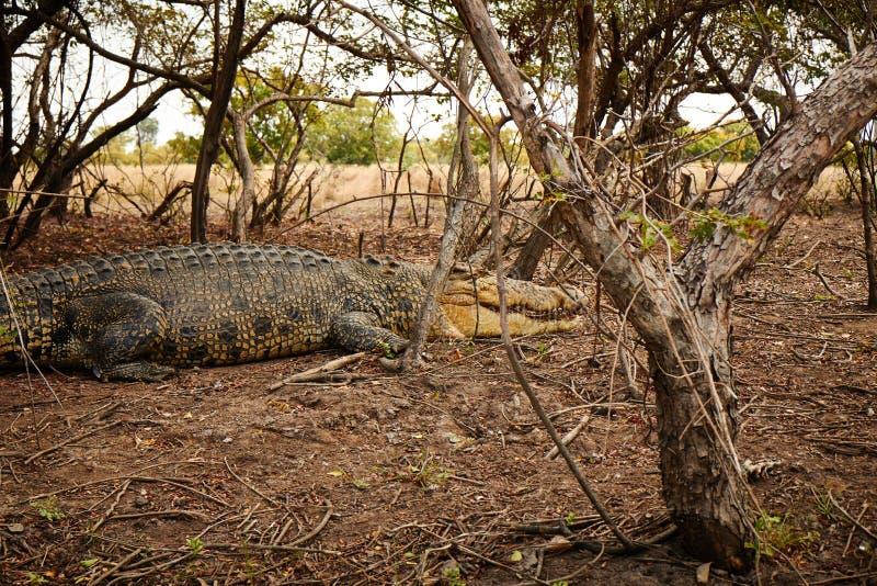 Big Croc stock photo
