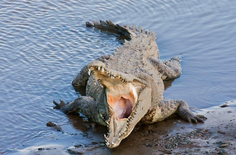 Big Crocodile stock photography