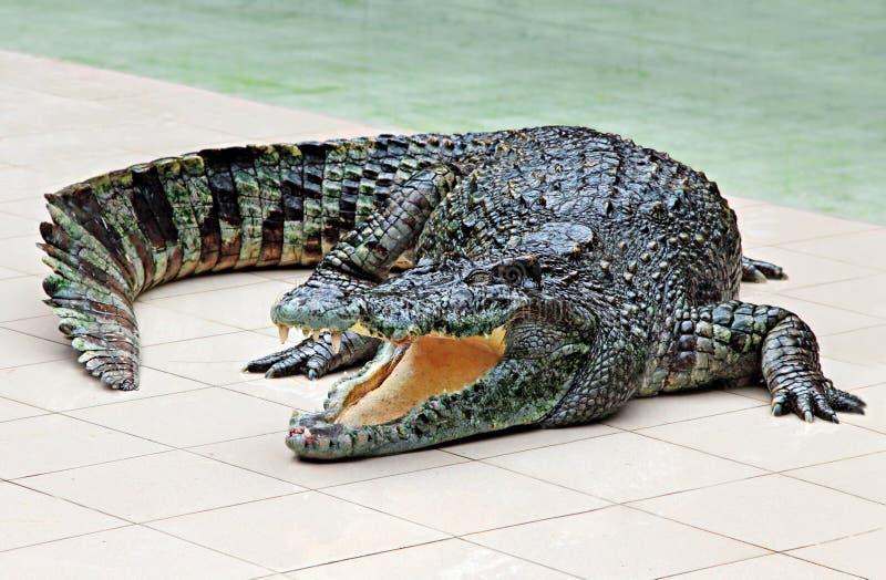 Big crocodile. In the zoo stock photo