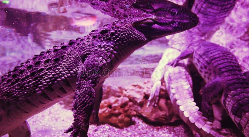 Big crocodile in the aquarium closeup. Pink light and body parts. Big crocodile in the aquarium closeup. Pink light and body parts royalty free stock photos