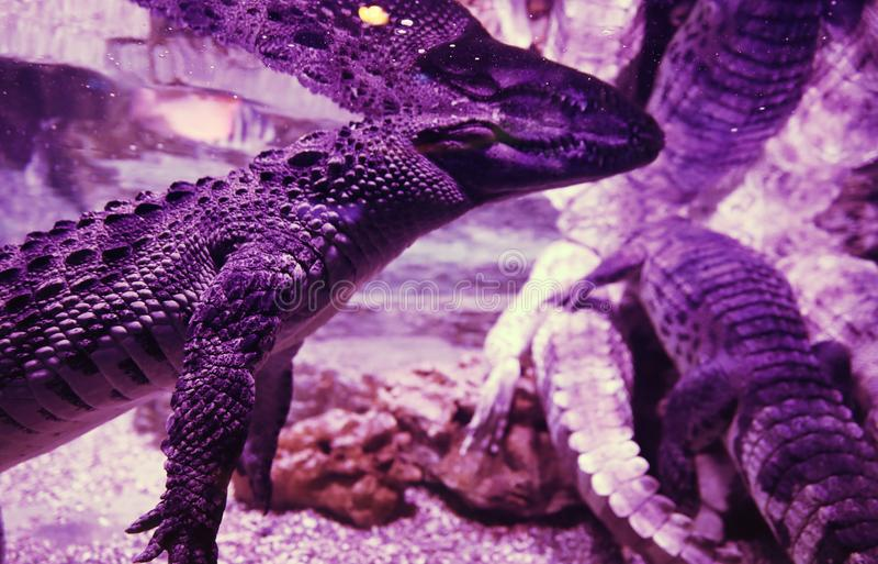 Big crocodile in the aquarium closeup. Pink light and body parts. Big crocodile in the aquarium closeup. Pink light and body parts stock images