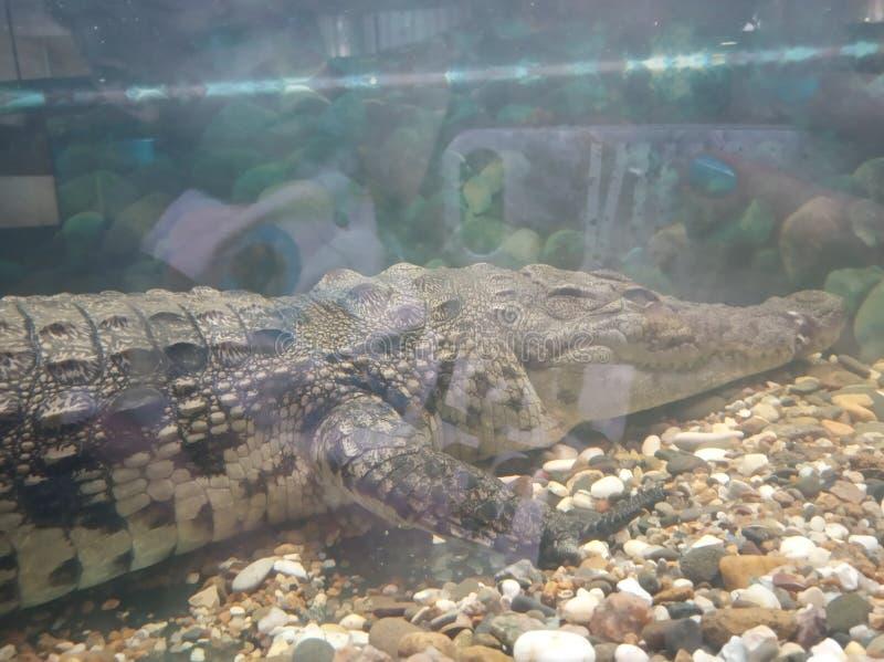 Big crocodile. Aquarium, underwater stock photo