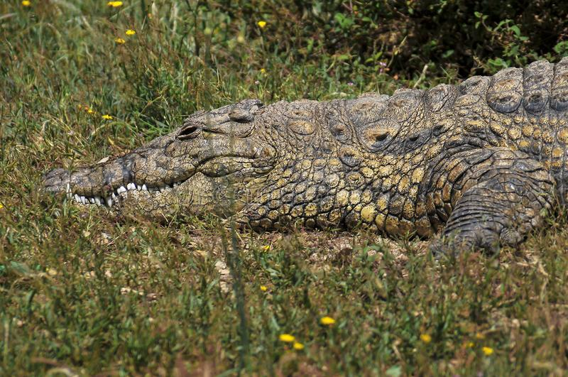 Big crocodile. In a natural park stock photography